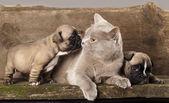 Französische bulldogge welpen und britische katze — Stockfoto