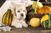 Puppy Spaniel — Stock Photo