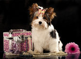 Biewer dog — Stock Photo