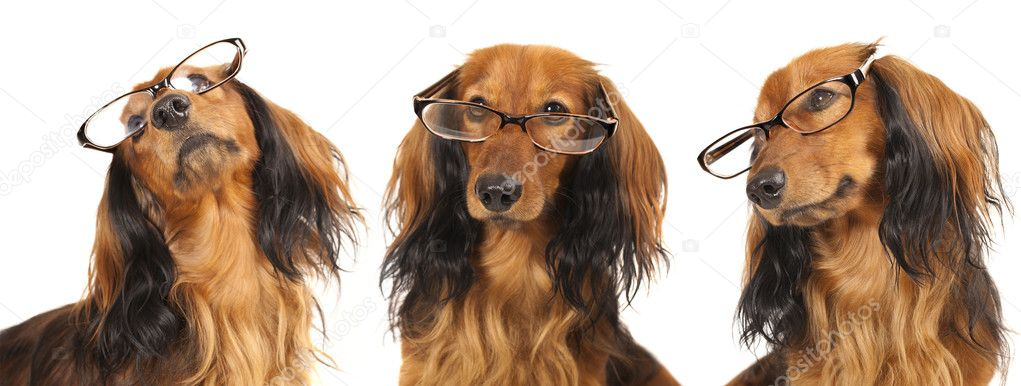 Longhair dachshund wearing glasses  Stock Photo #7934567