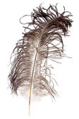 Ostrich feather — Stock Photo