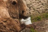 Medvěd portrét v salcburské zoo — Stock fotografie