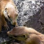 Prairie dog (Cynomis ludovicianus) portrait in Salzburg zoo — Stock Photo