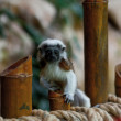 Cotton-top tamarins (Saguinus Oedipus) — Stock Photo