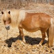 Brown pony - Stock Photo