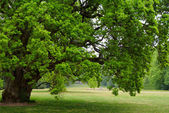 Old oak tree — Stock Photo