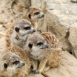 Family meerkat on the look out — Stock Photo
