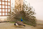 Male peacock tail spread tail-feathers — Stock Photo