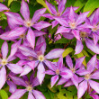 Purple clematis flower heads — Stock Photo