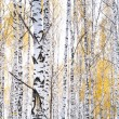 Autumn birch forest. October - Stock Photo