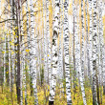 Autumn birch forest. October — Stock Photo