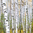 Autumn birch forest. October — Stock Photo