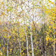 Stock Photo: Autumn birch forest. October