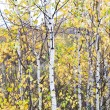 Autumn birch forest. October — ストック写真