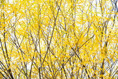 Willow yellow branches, autumn — Stock Photo