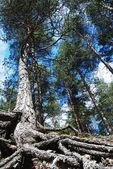 талль сосны с заросший дерево корнями, вертикальные — Стоковое фото