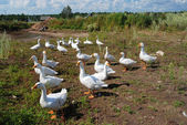 Flock of domestic geese — Stock Photo