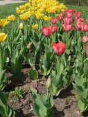 Rood en gele tulp bij spring — Stockfoto