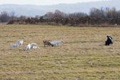 Los pastores y las cabras — Foto de Stock