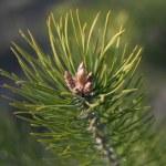 conos de pino de bebé — Foto de Stock