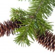 Stock Photo: Fir-cones