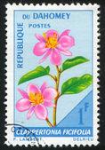Clappertonia ficifolia — Stock fotografie
