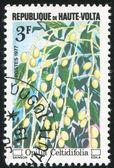 Opilia celtidifolia — 图库照片