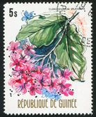 Clerodendrum splendens — Foto Stock