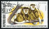 Colobus monkeys — Stok fotoğraf