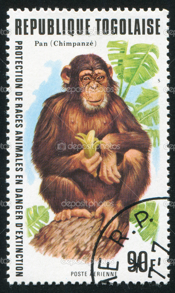 TOGO - CIRCA 1977: stamp printed by Togo, shows chimpanze, circa 1977. — Stock Photo #7422484