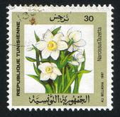 Narcissus tazetta — Stockfoto
