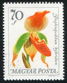 Paphiopedilum hybridium — Foto de Stock