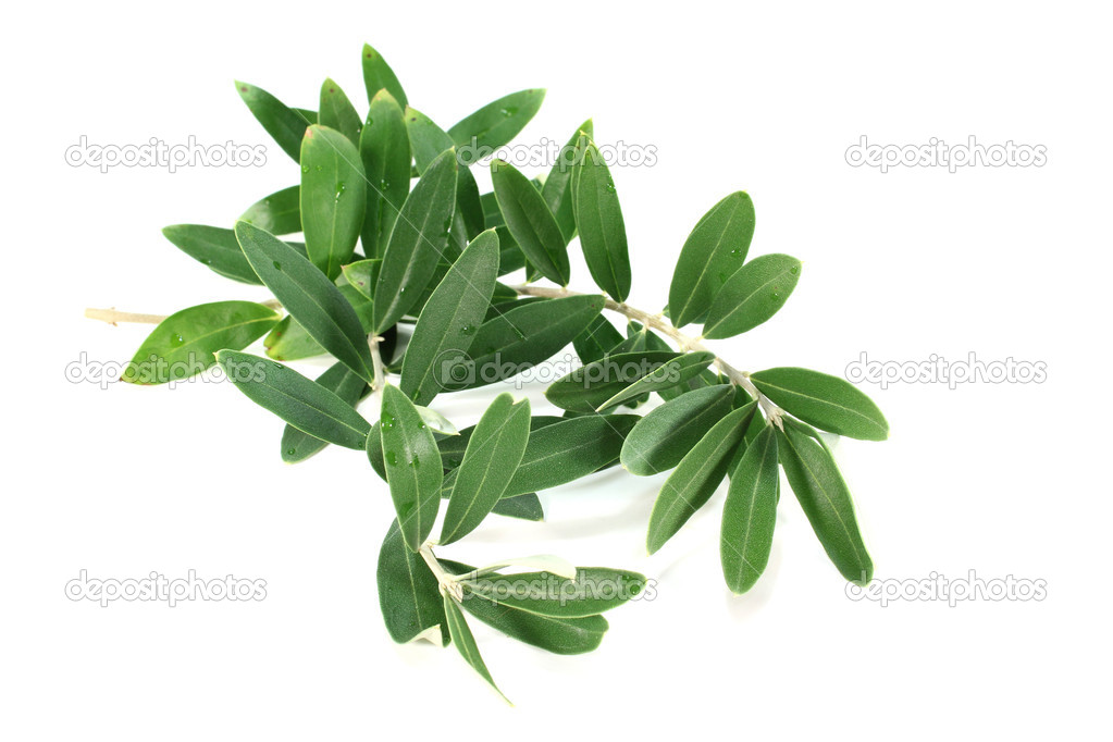 Fresh green olive branch on a white background — Stock Photo #6887548