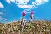 Flower Pasqueflower (Pulsatilla patens) — Stock Photo