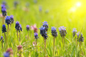 Hyacinthes with green grass — Stockfoto