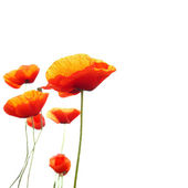 Red poppies — Foto Stock