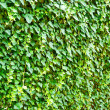 Wall of the leaves. Ivy (Hedera helix) — Stock Photo #7714552