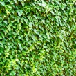 Wall of the leaves. Ivy (Hedera helix) — Stock Photo