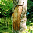 Big tree with ragged bark. — Stock Photo #7715323