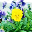 Stock Photo: Pansy, Violtricolor.