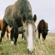 Horse chewing the grass. - Stock Photo