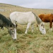 Three grazing horses of different colors. - Stock Photo