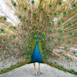 Peacock with open train. - Stock Photo
