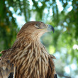 A hawk eagle sitting on the tree. - Stock Photo
