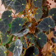 Stock Photo: House plant dark begonia.