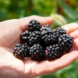 Stack of blackberry in a hand. — Foto Stock