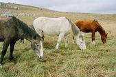 Drie grazende paarden van verschillende kleuren. — Stockfoto
