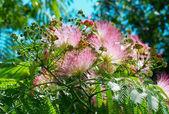 Blüten von Acacia (Albizzia julibrissin). — Stockfoto