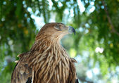 A hawk eagle sitting on the tree. — Stock Photo