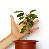 Plantes vertes de jeunes avec une main isolé sur blanc. — Photo